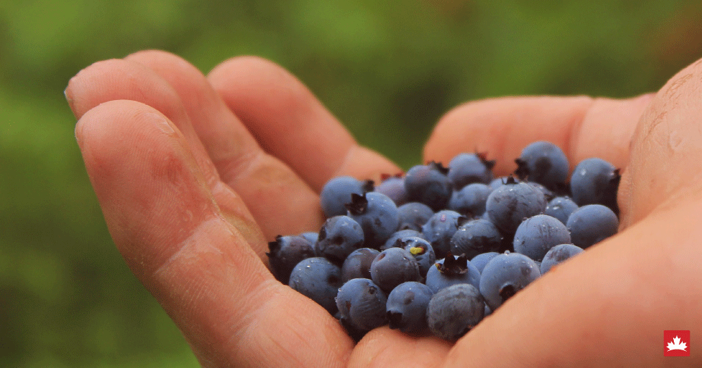 Onde colher berries em Metro Vancouver